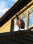 Wildlife photography,Unusual visitor, Peahen