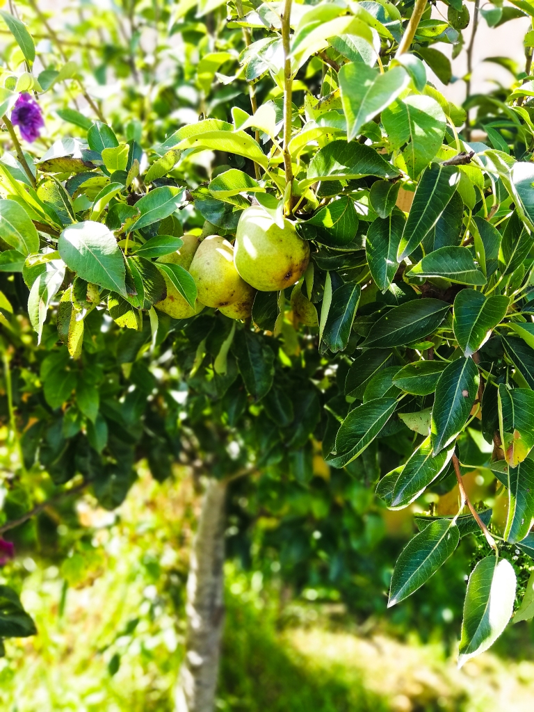 Image, Pear tree, sunny day in the garden.