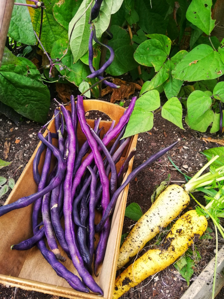Image, just picked purple beans, and carrots, soil, wooden box
