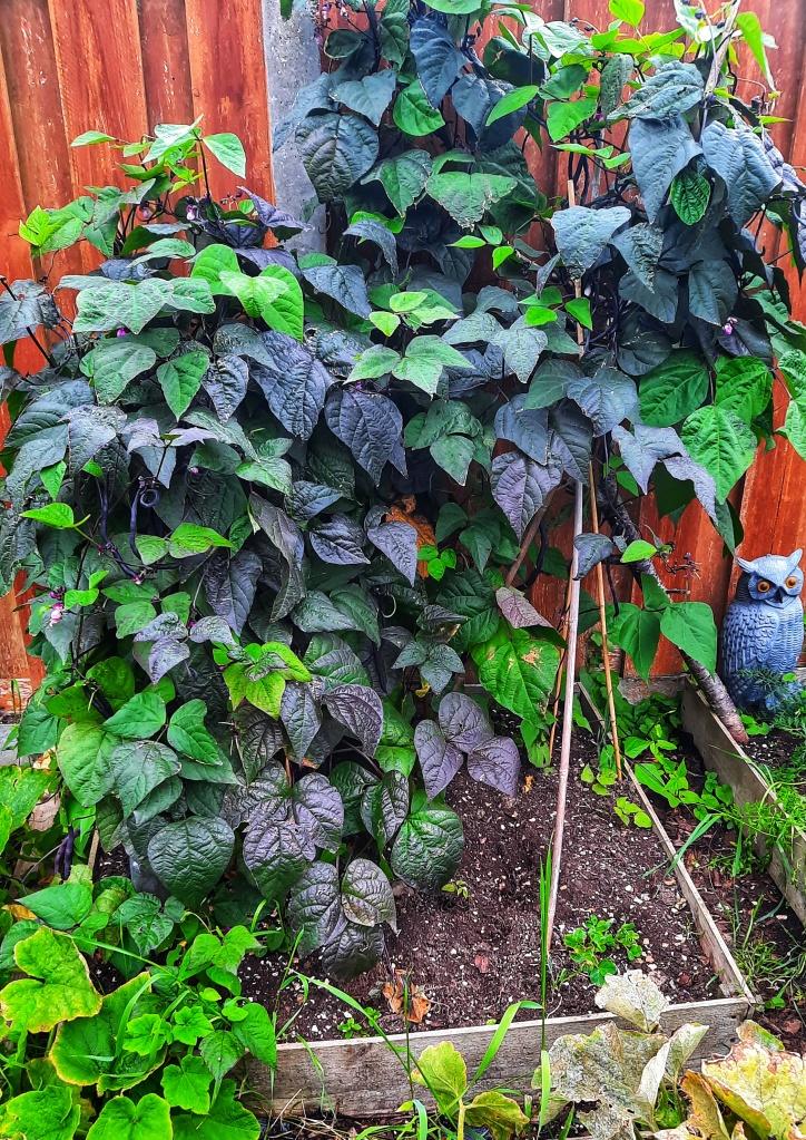 Image, purple bean plant in vegetable garden