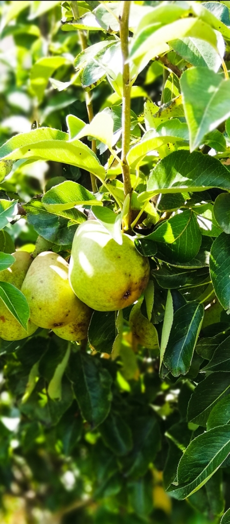 Image, pear tree in the garden